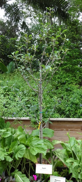 Elderberry Bush (a featured planting)