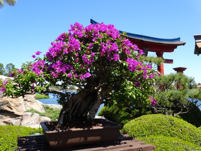We love bougainvillea - maybe a bonsai would fit in our tiny space - 2014 Epcot Flower and Garden Festival